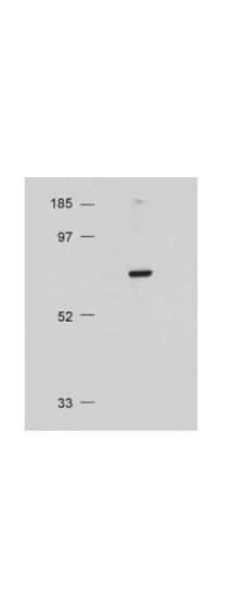 akt akt antibody 100 401 401