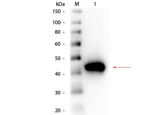 pepsin antibody peroxidase conjugated - western blot