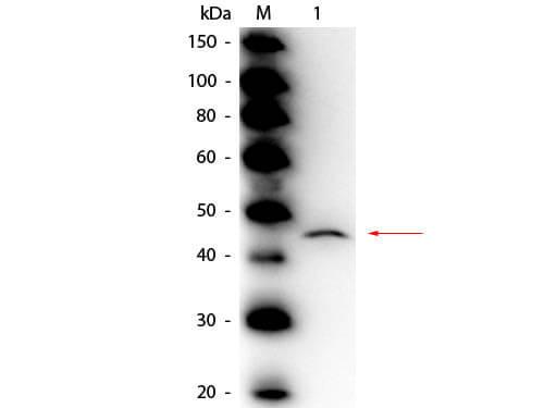 adenosine deaminase antibody peroxidase conjugated 200 403 140s