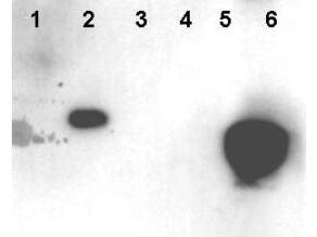 HMGN phospho S20/S24 Antibody