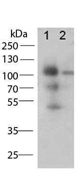 CD68 Antibody